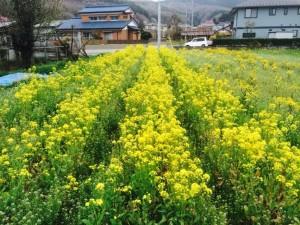 カブの花畑